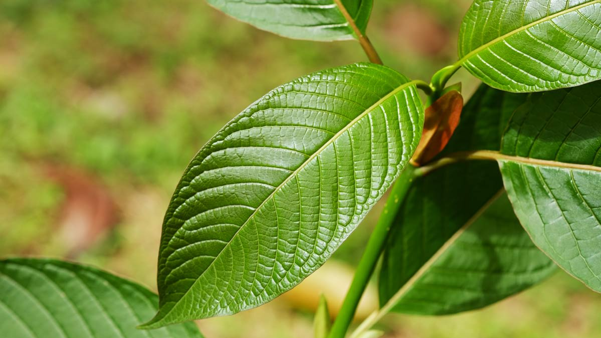 3 Tips For Every New Kratom User